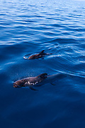 Whalewatching Tenerife: Pilot whales (Globicephala macrorhynchus) off the coast of Tenerife, in the Canary Islands,
