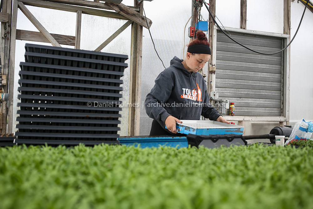 (9/24/18, MILLIS, MA) Allie Headd plants Romaine lettuce the will be ready to pick this fall at Tangerini's Spring Street Farm in Millis on Monday. [Daily News and Wicked Local Photo/Dan Holmes]