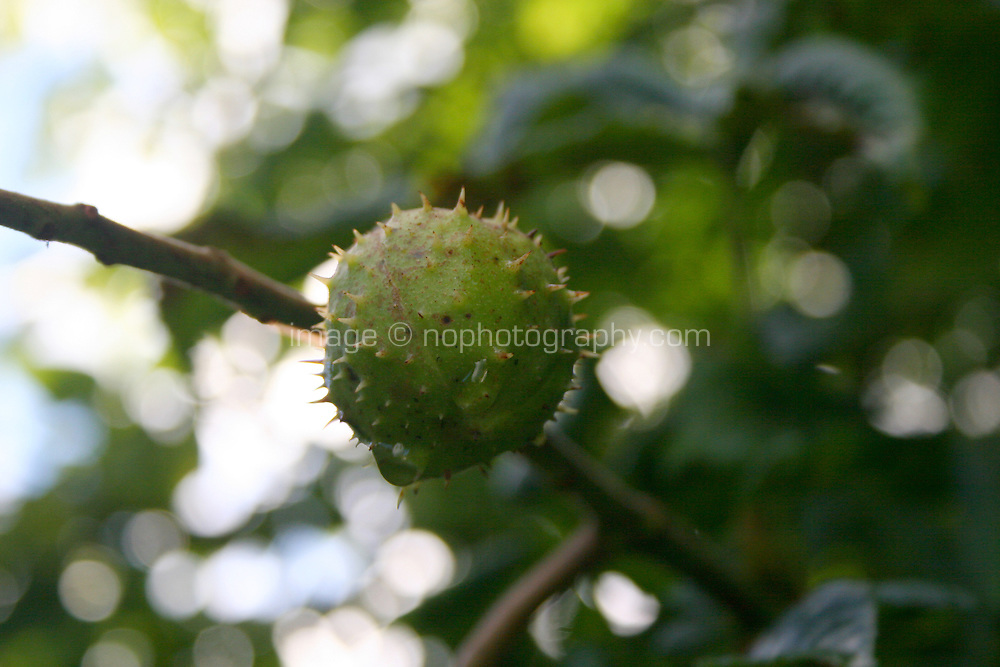 Close up of horse-chestnut tree conker in Ireland