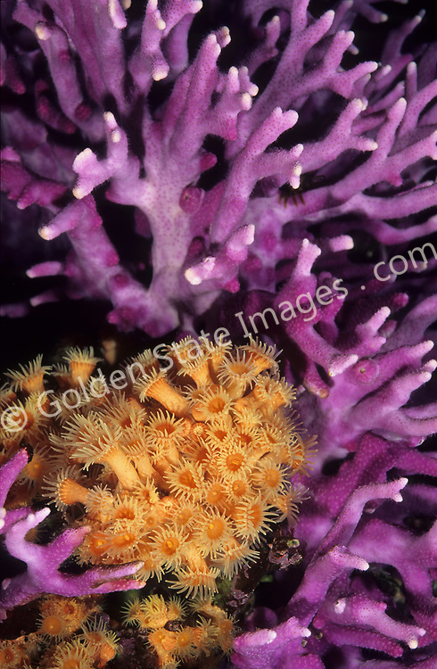 Upright branching coral height to 12 inches colonies to 24 inches wide.    <br /> <br /> Range: Northern California to San Benitos Islands Mexico    <br /> <br /> Species: Stylaster californicus