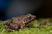 Gephyromantis sp. (?) from Andasibe NP, eastern Madagascar.