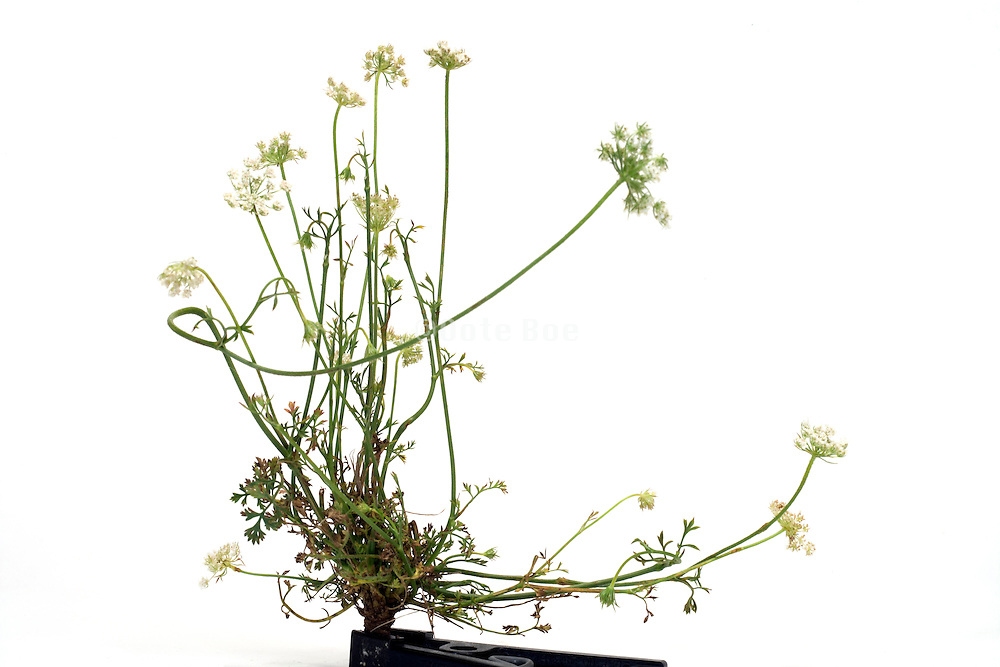 wild flower plant in studio setting