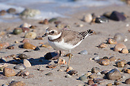 A semipalmated plover feeding along the beach at Sandy Neck.