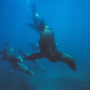 It was amazing to get in the water with the sea lions and witness their graceful speed and agility. They were curious about me as soon as I appeared. This is a popular destination for swimming with sea lions so that are very habituated to the presence of people in the water with them. It was mostly younger juveniles that I could see, with the occasional large bull, which although large seemed quite small in comparison with the Steller sea lions in Alaska.