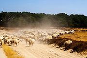 Nederland, Ede, 27-07-2018<br /> Een schaapskudde graast op de heide van de Veluwe bij de Ginkelse Heide.<br /> <br /> Sheep graze at the moorlands of the Veluwe.<br /> Foto: Bas de Meijer / De Beeldunie