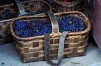 Italie - Toscane - Province de Florence - region du Chianti - Raisins - Vendange - Vin  // Italy. Tuscany. Chianti area. Grape crop.