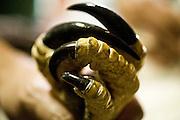 Porto Seguro_BA, Brasil...Detalhe da garra de uma Harpia (harpia harpyja) da Mata Atlantica...Detail claw  Harpia (harpia harpyja) of inAtlantic Forest...Foto: JOAO MARCOS ROSA /  NITRO