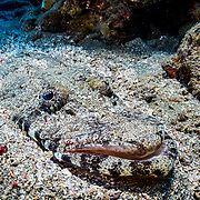 A Crocodile fish (Cymbacephalus beauforti) camouflaged and partially buried in the sand in the Red Sea off Marsa Alam, Egypt.