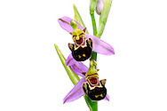 France, Languedoc Roussillon, Gard (30), Cevennes, fleurs de Ophrys abeille, N.L.: Ophrys apifera, (Orchidacées)