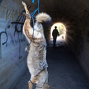 """A woman hanged a dead coyote along a much used route as a message to smugglers (a.k.a. """"coyotes""""). The woman lives in a small eastern San Diego town overrun by undocumented immigrants since Operation Gatekeeper pushed them into the region. Please contact Todd Bigelow directly with your licensing requests."""