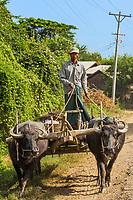 CHAUNG-U, MYANMAR - DECEMBER 01, 2016 : farmers with his buffalos on a road near Monywa Myanmar (Burma)
