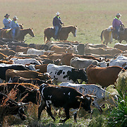 Great Florida cattle drive.