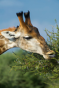 Giraffe (Giraffa camelopardalis) feeding<br /> Marakele Private Reserve, Waterberg Biosphere Reserve<br /> Limpopo Province<br /> SOUTH AFRICA<br /> RANGE: Savanna regions in scattered isolated pockets of Sub-Saharan Africa.