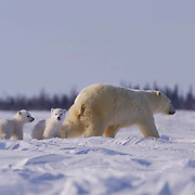 A polar bear mother and her new cubs on thier way to the coast of Hudson Bay, Wapusk National Park. The cubs are only weeks old and have recently left the den in temperatres of -46F. They will hunt seals and end nearly six weks of starvation for the female who has been fasting before giving birth to her cubs.