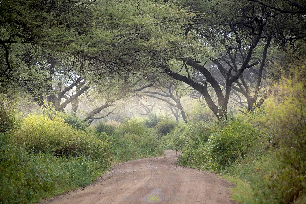 Scenic landscape with view of acacia trees and a dirt road, Lake Manyara National Park, Tanzania