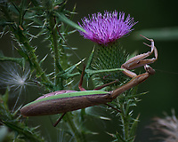 Praying Mantis hunting on a Thistle flower. Image taken with a Nikon D810a camera and 80-400 mm VRII lens.