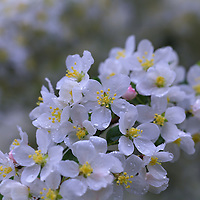 """""""Fresh as Morning Air""""<br /> <br /> Lovely pure white apple blossoms in a spring rain!"""