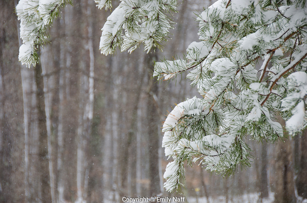 Snow covered pine branches against the backdrop of a hardwood forest.