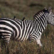 Burchell's Zebra, (Equus burchelli) Adult on Serengeti plains, grazing. Kenya. Africa.
