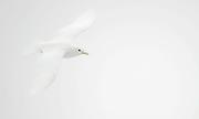 Ivory Gull (Pagophila eburnea) from 81,5 degrees north off Spitsbergen, Svalbard.