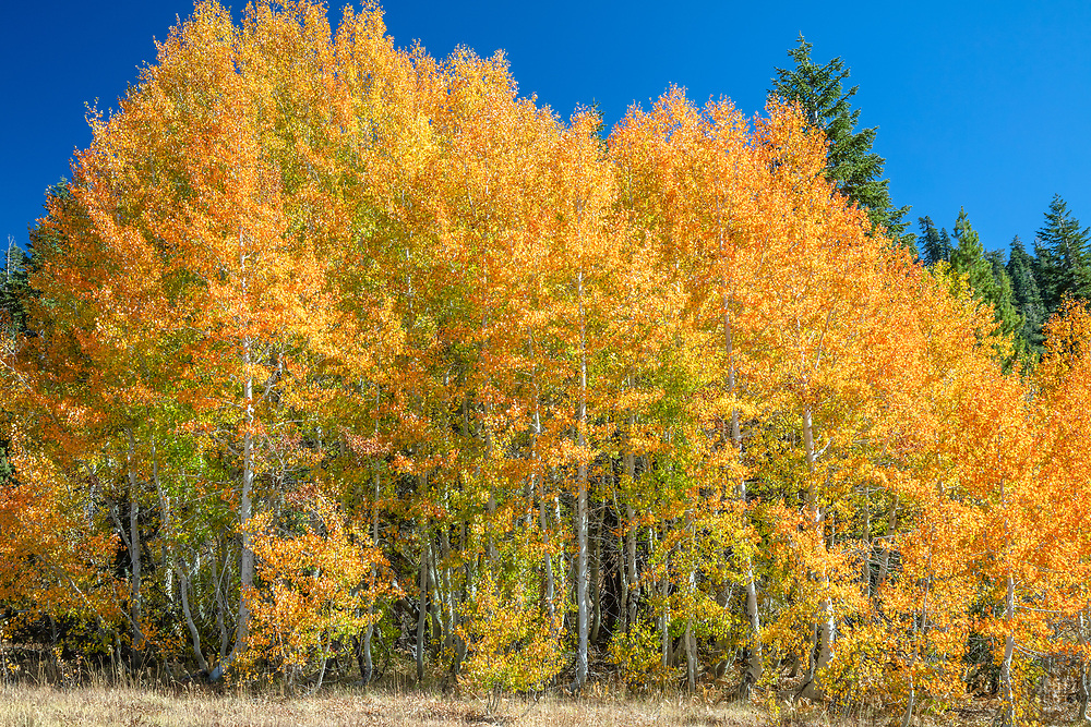 """""""Autumn Aspens 7"""" - Photograph of yellow and orange aspen trees in the Fall at a grove above Lake Tahoe."""