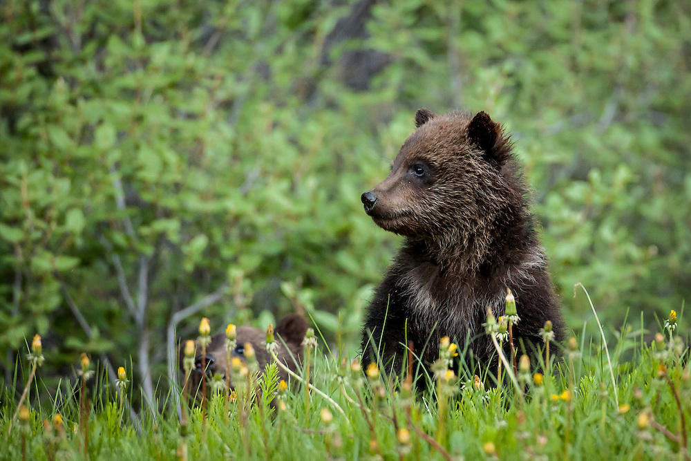 Grizzly bear cub, Kananaskis, Alberta, Canada