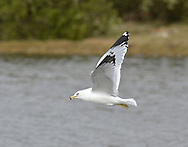 Ring-billed Gull Larus delawarensis - Winter Adult. L 42-48cm. Of several North American gulls to visit us, this is the most regularly encountered. Recalls a Common Gull but in adults the larger, yellow bill has a bold black subterminal band.