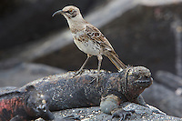 Espanola (Hood) Mockingbird (Mimus macdonaldi) - Endangered Species (IUCN Red List: VU) <br /> on Marine Iguana - Endangered Species (IUCN Red List: VU).  Note both are endangered species at VU level.