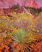 Gambel Oak and Yucca, Kolob Canyons, Zion National Park, Utah
