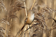 Bearded Tit, Panurus biarmicus female in frosty morning