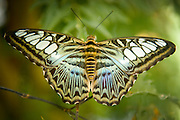 butterfly with spread wings