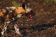 African Wild Dog or Painted Dog, Lycaon pictus, pup with an Impala heart in its jaws, Zimanga Private Nature Reserve, KwaZulu Natal, South Africa
