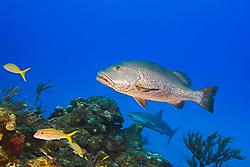 Cubera Snapper, Lutjanus cyanopterus, large adult, over 5 feet long, weighing over 100 plus pounds, vulnerable species, West End, Grand Bahama, Bahamas, Caribbean, Atlantic Ocean