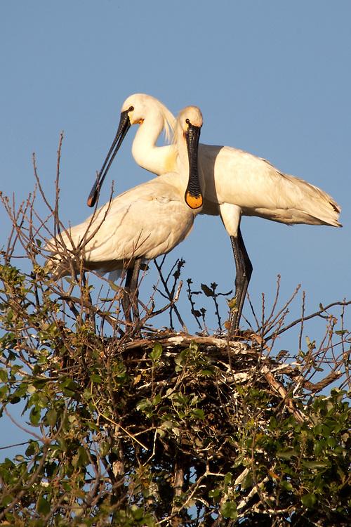 ESPAÑA / ANDALUCIA / HUELVA .Espátulas en su nido en el Parque Nacional de Doñana..©JOAN COSTA..