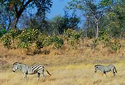 A Bruchell's Zebra walking with her foal in Moremi Game Reserve, Okavango Delta, Africa.