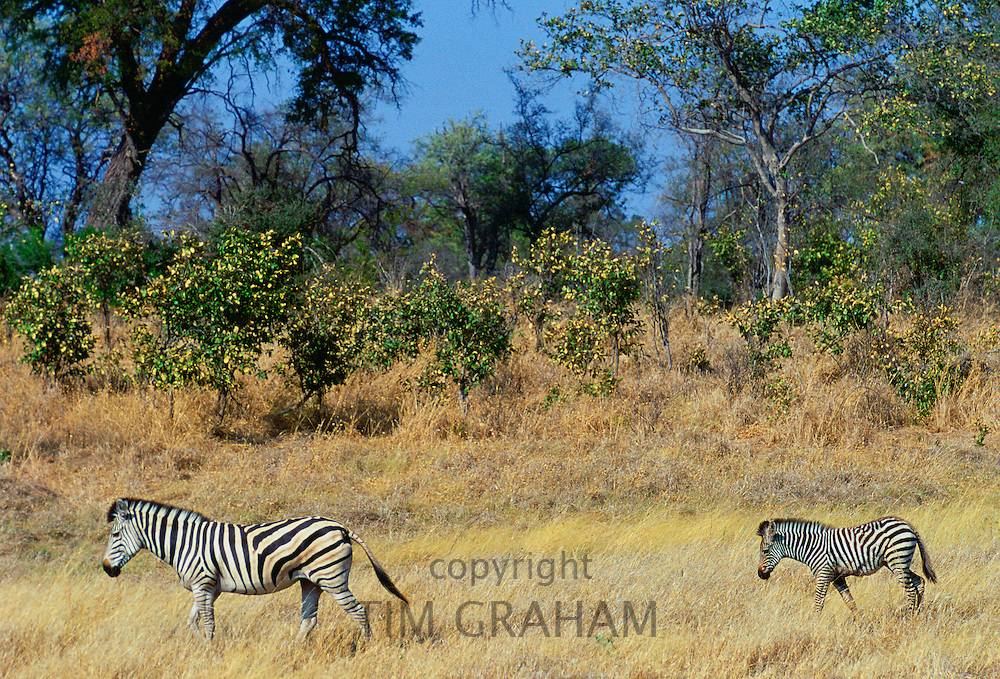 A Bruchell's Zebra walking with her foal in Moremi Game Reserve, Okavango Delta, Africa.