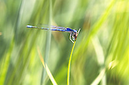 Damsel fly with prey in mouth on grass blade
