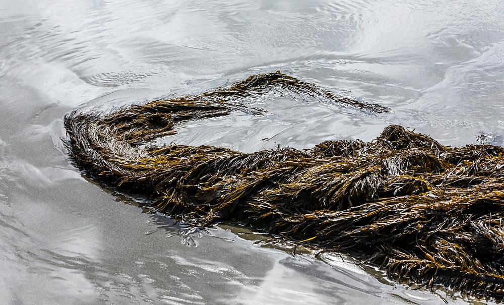 Seaweed on 2nd beach, Olympic National Park and coastal marine sanctuary, Washington USA.