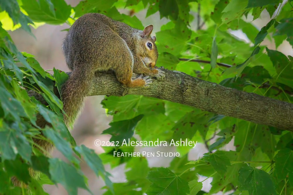 Squirrel curls up on maple tree branch for daily afternoon nap.