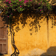 A bright yellow wall with hanging summer flowers. Hoi An is an ancient town and an exceptionally well-preserved example of a South-East Asian trading port dating from the 15th century. Hoi An is now a major tourist attraction because of its history. Hoi An, Vietnam. 5th March 2012. Photo Tim Clayton