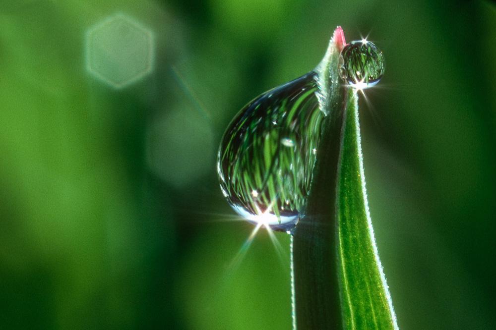 Grass with guttation droplets Alpine Lakes Wilderness, Cascade Mountains, Washington, USA