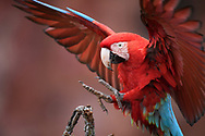 Landender Grünflügelara (Ara chloroptera), Bonito, Brasilien<br /> <br /> Landing Green-winged Macaw (Ara chloroptera), Bonito, Brazil
