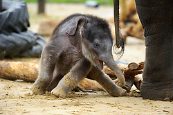 © Licensed to London News Pictures. 07/11/2013 Whipsnade, UK. Three week old Asian elephant, Max takes a tumble  as he makes his first public appearance at Whipsnade Zoo, Beds. Born on October 12th, he shares his paddock with mum Karishima and nine other elephants including siblings George, Donna and Scott.<br /> Photo credit : Simon Jacobs/LNP