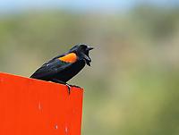Male Red-winged Blackbird, Agelaius phoeniceus, perches on a sign near Bodega Bay, California