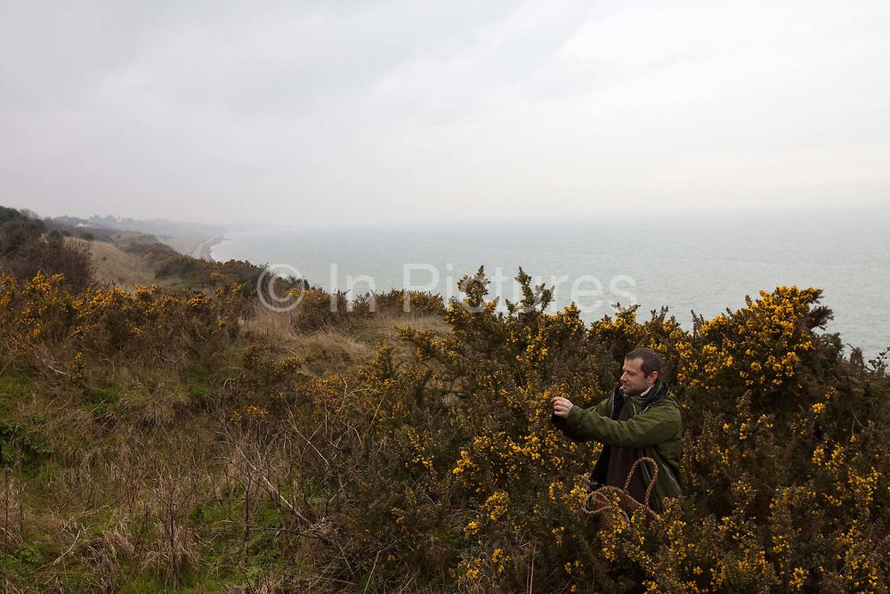 Fergus Drennan picks Gorse at Bishopstone near Herne Bay, Kent, UK.Fergus Drennan , known as 'Fergus the Forager' is a chef, wild food experimentalist and educator.
