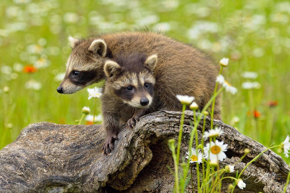 Raccoon (Procyon lotor) Babies exploring stump, captive, Minnesota wildlife Connection, Sandstone, Minnesota, USA