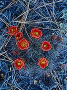 Claret Cup Cactus, also known as Hedgehog Cactus, Echinocereus triglochidiatus, blooming on lava flow beneath ponderosa pine forest, El Malpais National Monument, New Mexico.