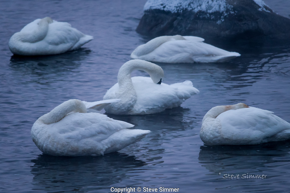 A group of Trumpeter Swans was nestled in for the night, Just waking up as we arrived.