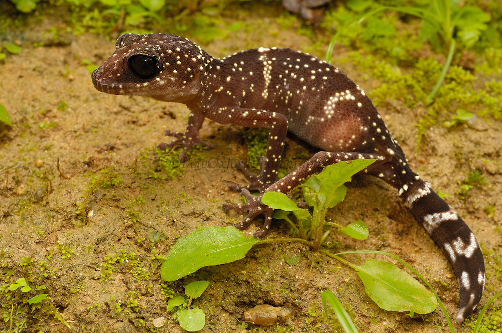 Gecko (Paroedura masobe) recently described, from lowland humid forests in central-eastern MADAGASCAR.