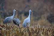 Sandhill cranes feeding in corn stubble field.